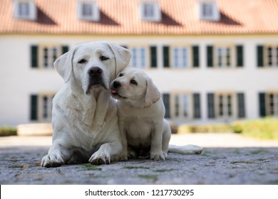 cute little young labrador retriever dog puppy pet outdoors kissing mother