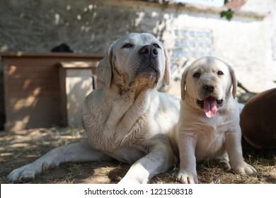 cute little young labrador retriever dog puppy pet outdoors