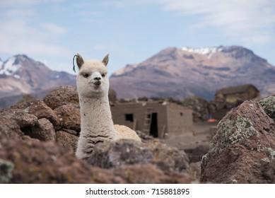 Cute Llama Alpaca Portrait against mountains. Altiplano, Bolivia, South America