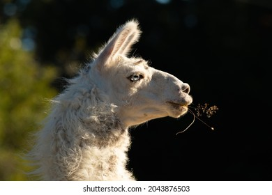 A cute Llama posing under the sunset meanwhile is eating a ling grass