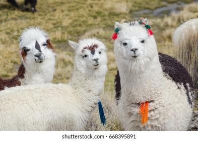 Cute llamas of Altiplano, Bolivia, South America