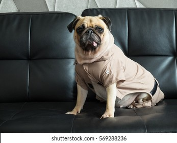 Cute lonely puppy pug dog sad and sit on black sofa wait someone with soldier dress costume.