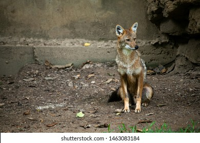 Cute lonely wild Coyote, small wolf sitting on the ground in the zoo.