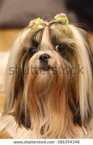 Cute Long Hair Shihtzu Dog Stock Photo Edit Now 586394348