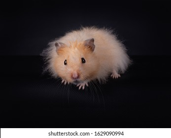 Long Haired Hamster Colors 103