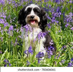 Cute long haired Tibetan Terrier dog sat in a field of bluebells in spring