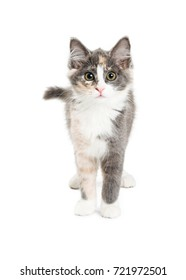 Cute long-haired grey and orange kitten standing on white, looking into camera