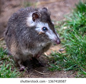 cute long-nosed potoroo