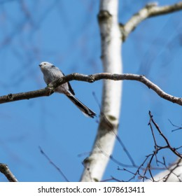 Cute Long-tailed Tit, Aegithalos Caudatus, on a twig in a birch tree