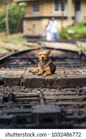Cute lonley curious stray dog lying on the railroad tracks in Sri Lanka.