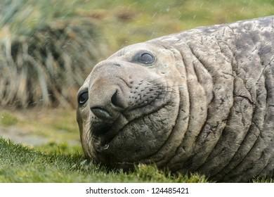 Cute look of the atlantic seal. South Georgia, South Atlantic Ocean.
