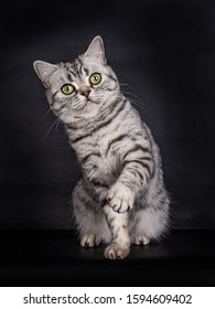 Cute looking Black Silver Tabby spotted British Shorthair Cat with green eyes, sitting with one paw playfull in the air, looking direct into the lens, isolated on a black background