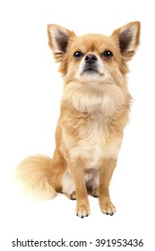 Cute looking Chihuahua isolated on white