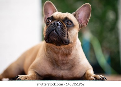 Cute looking french bulldog playing around.