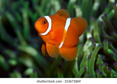 Cute looking little orange spine cheek Anemonefish (Clownfish) in anemone on a coral reef off a volcanic beach in Tulamben Bay, Bali, Indonesia looking at camera