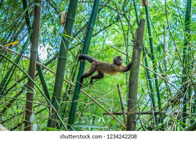 A cute looking wild brown Capuchin Monkey posing in between some bamboo trees in Nature Park and former plantation, Peperpot, Commewijne, Suriname.