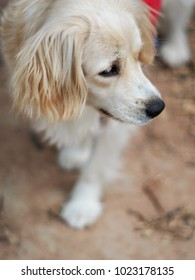 cute lovely handsome white long hair young crossbreed dog playing on home garden floor outdoor making sad face waiting for the owner to take a walk portraits close selective focus blur background