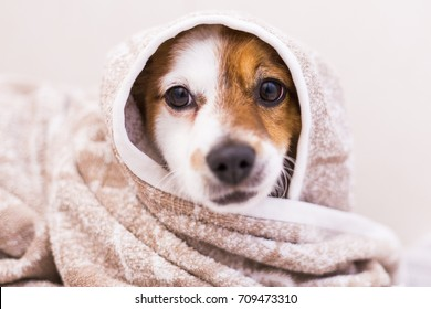 cute lovely small dog getting dried with a towel in the bathroom. Home. Indoors.