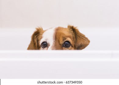 cute lovely small dog ready to have a bath in the bathtub. Indoors. Home, bathroom. white background