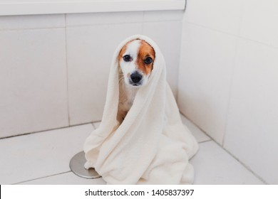 cute lovely small dog wet in bathtub. Young woman owner getting her dog dried at home. white background