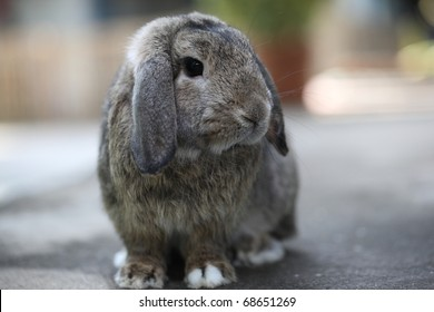 Cute lovely valentine Adorable brown baby holland lop rabbit bunny stand in nature background
