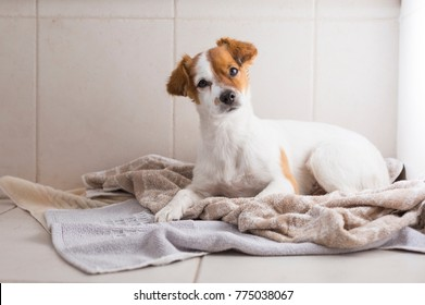 cute lovely white and brown small dog getting dried with a towel in the bathroom. Home. Indoors.