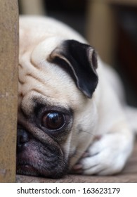 cute lovely white fat pug dog head shot close up laying flat on a wooden chair hiding his face open one big eye looking straight at the camera