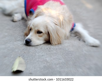 cute lovely white long hair young crossbreed dog playing dried leaf on garage floor outdoor making sad face waiting for the owner to take a walk portraits close selective focus blur background
