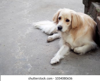 cute lovely white long hair handsome young crossbreed dog laying flat on garage floor outdoor making funny face waiting for the owner to take a walk portraits close selective focus blur background