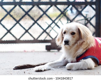 cute lovely white long hair young crossbreed dog in red shirt laying flat on garage floor outdoor making sad face waiting for the owner to take a walk portraits close selective focus blur background