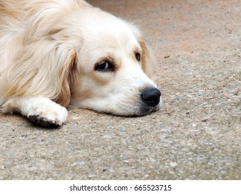 cute lovely white long hair young crossbreed dog laying flat on garage floor outdoor making sad face waiting for the owner to take a walk portraits close selective focus blur background