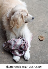 cute lovely white long hair young crossbreed dog playing rag cloth on garage floor outdoor making sad face waiting for the owner to take a walk portraits close selective focus blur background
