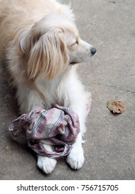 cute lovely white long hair young dog laying on garage floor with rug cloth making sad face waiting for the dog owner to take a walk portraits closeup selective focus blur background
