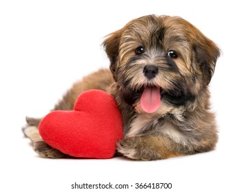 Cute lover happy valentine havanese puppy dog with a red heart, isolated on white background