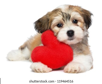 A cute lover valentine havanese puppy dog with a red heart isolated on white background