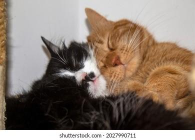 Gatos adoradores, durmiendo y jugando