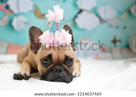 cute-lying-fawn-french-bulldog-450w-1214