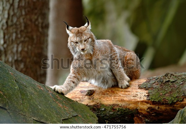 Cute lynx in the autumn forest. Wildlife scene from Europe. Lynx with tree trunk. Wild cat in the nature forest habitat.