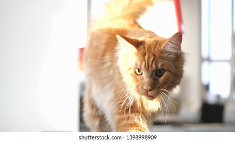 Cute maine coon cat exercising on a treadmill.