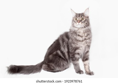 Cute Maine Coon cat isolated on white background. Happy kitten is playing. Cute pet