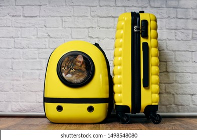 Cute Maine coon cat looking curious out of a backpack carrier next to a yellow suitcase.