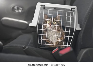 Cute Maine coon cat in a pet carrier stands on the passenger seat in a car.