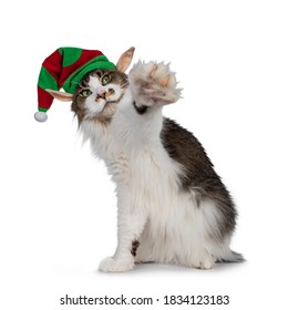 Cute Maine Coon cat, sitting up with one paw high in the air wearing elf hat. Isolated on white background.