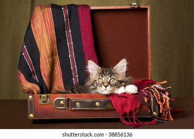 Cute Maine Coon kitten sitting inside brown suitcase