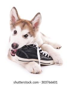 Dog Chew Up Shoe Laces