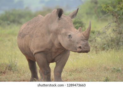 A cute male bull white Rhino in Kruger National Park