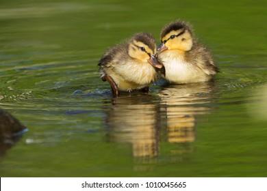 Cute mallard ducklings in spring