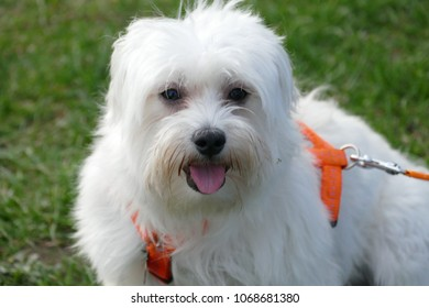 A cute Maltese dog in the garden - Close up-