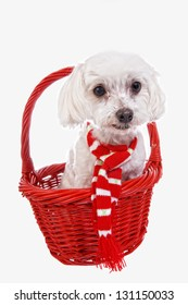 Cute Maltese dog in red basket wearing red and white scarf isolated on white background