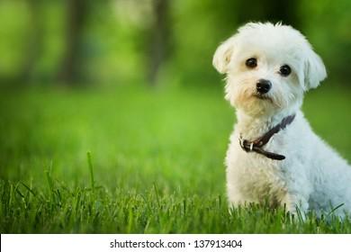 cute maltese dog sitting in grass